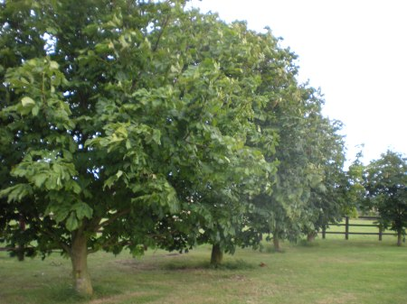 Horse Chestnut Trees
