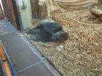 Gorillas In The Cold And Rain