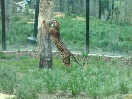 Sumatran Tiger Melati