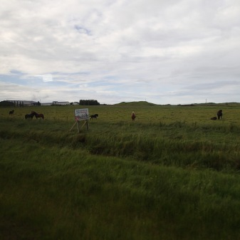 There Are Icelandic Horses Everywhere