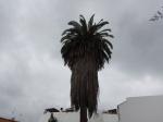 A Canary Island Palm